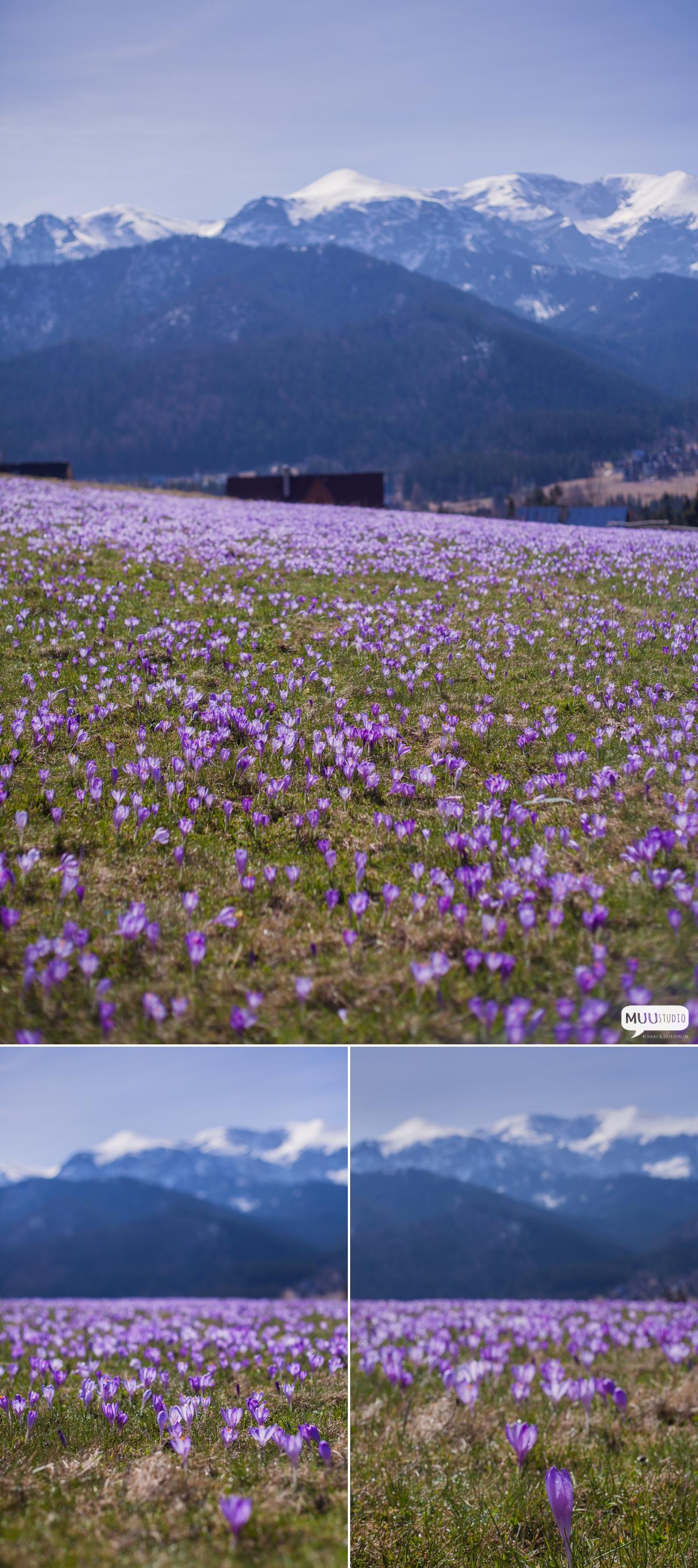wiosna w górach krokusy